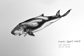 pygmy-sperm-whale_chris-studer-2015-1-of-1