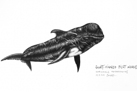 short-finned-pilot-whale_chris-studer-2015-1-of-1