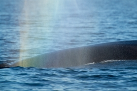 Fin whale 2- Norway ©Heike Vester