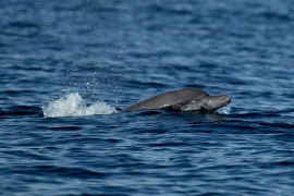 Indo-pacific Bottlenose dolphin 2 Papua © Heike Vester