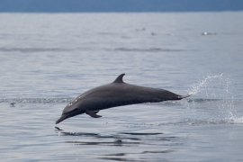 Pantropical spottet dolphin 1 Papua © Heike Vester