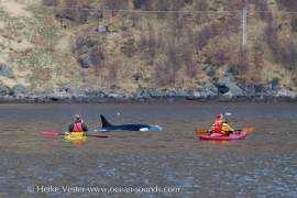 orcas-may-2014-hvester-1-of-1-2-s