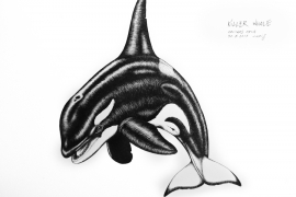 killer-whale_chris-studer-2015-1-of-1