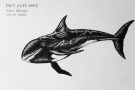 pygmy-killer-whale_chris-studer-2015-1-of-1-2