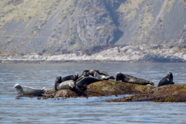 Grey seals 1 Norway © Heike Vester