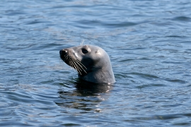 Grey seal 2 Norway © Heike Vester