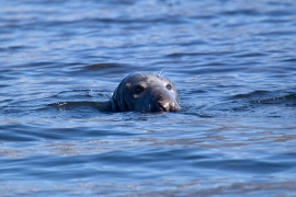 Grey seal 3 Norway © Heike Vester