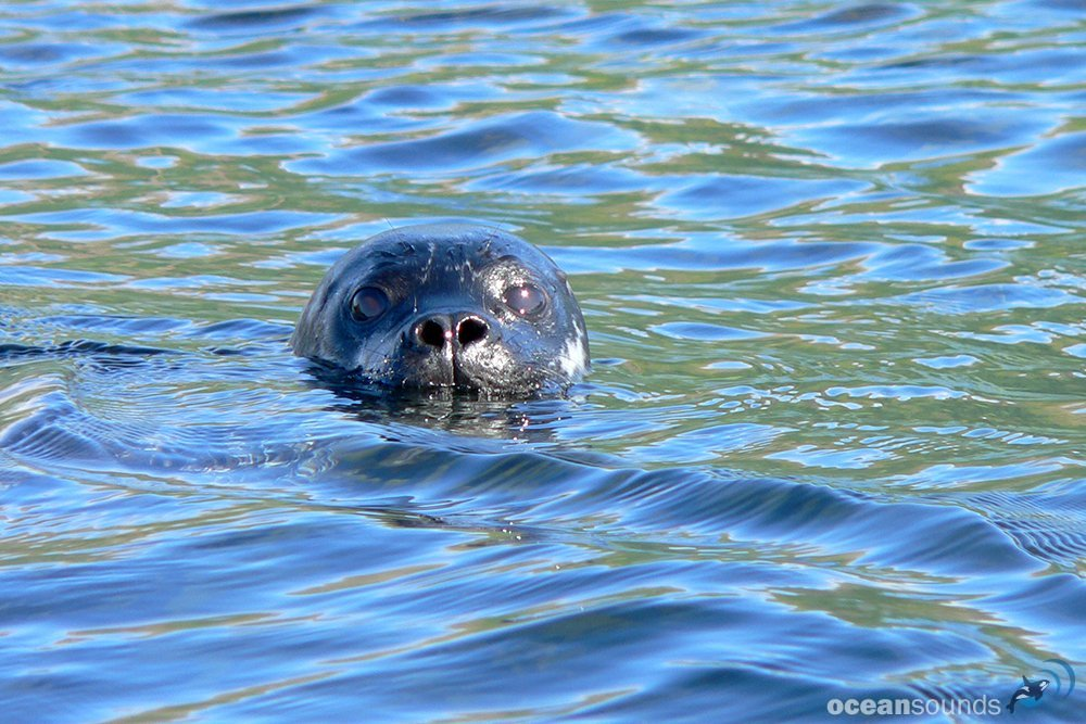 Harbour seal 2 Norway © Heike Vester