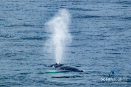 Humpbackwhale-Norway-blow_HeikeVester-OceanSounds-3