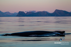 Humpbackwhale-Norway_HeikeVester-OceanSounds-2-3