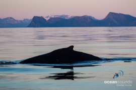 Humpbackwhale-Norway_HeikeVester-OceanSounds-3