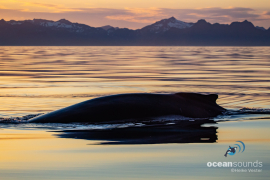 Humpbackwhale-Norway_HeikeVester-OceanSounds-5