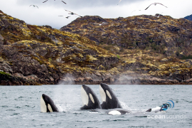 killer whale sounds -norway-3spyhop_heikevester-oceansounds-1-2