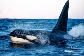 killer whale sounds -norway-male_heikevester-oceansounds-1-2