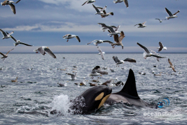 killer whale sounds -norway-mothercalf_heikevester-oceansounds-1-2