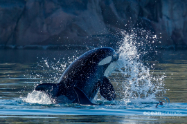 killer whale sounds -norway-salmoncatch_heikevester-oceansounds-1-2