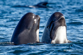 Long-finnedPilotwhale-Norway-doublespyhop_HeikeVester-1