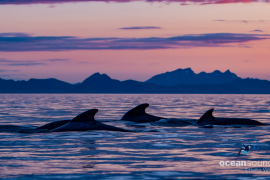 Long-finnedPilotwhale-Norway-group_HeikeVester-1