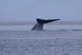 Blue whale 3 Chile © Heike Vester