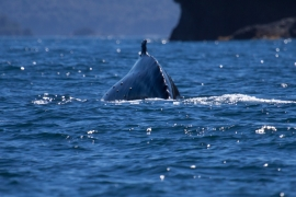 Humpback whales 2 Chile © Heike Vester