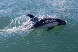 Peales dolphin 2 Chile © Heike Vester