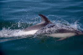 Peales dolphin 3 Chile © Heike Vester