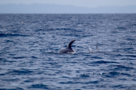 False killer whales 1 Papua © Heike Vester