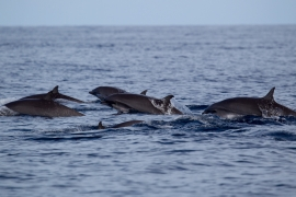 Frasers dolphin 2 Papua © Heike Vester