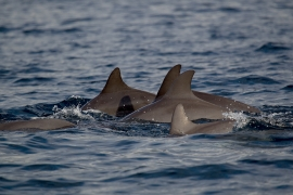 Indo-pacific Bottlenose dolphin 1 Papua © Heike Vester