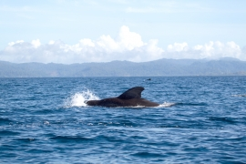 Short-finned pilot whales 1 Papua © Heike Vester