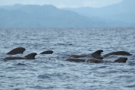 Short-finned pilot whales 2 Papua © Heike Vester