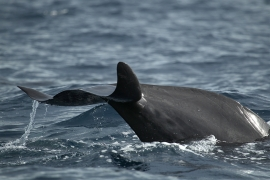 Short-finned pilot whales 3 Papua © Heike Vester
