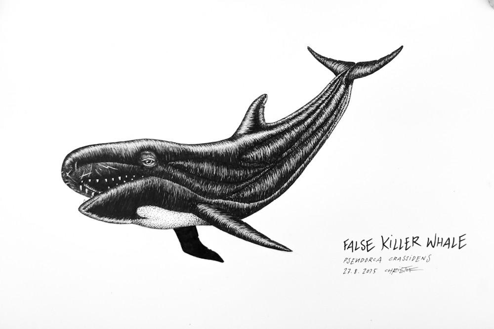 False-Killer-Whale_Chris-Studer-2015 (1 of 1)