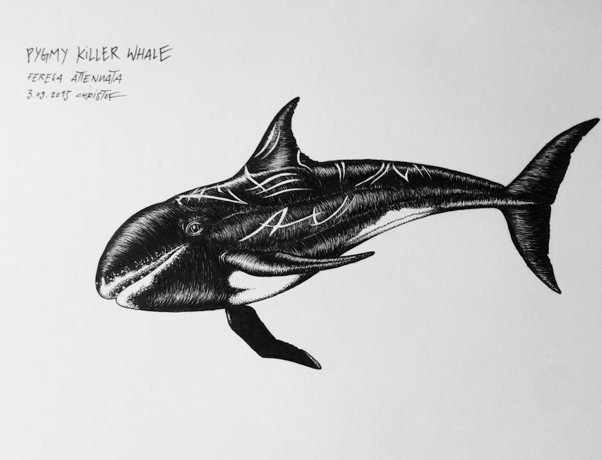 Pygmy-Killer-Whale_Chris-Studer-2015 (1 of 1)-2