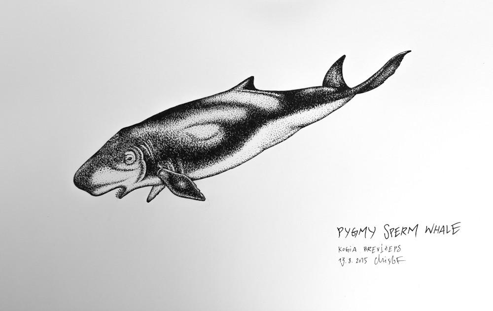 Pygmy-Sperm-Whale_Chris-Studer-2015 (1 of 1)