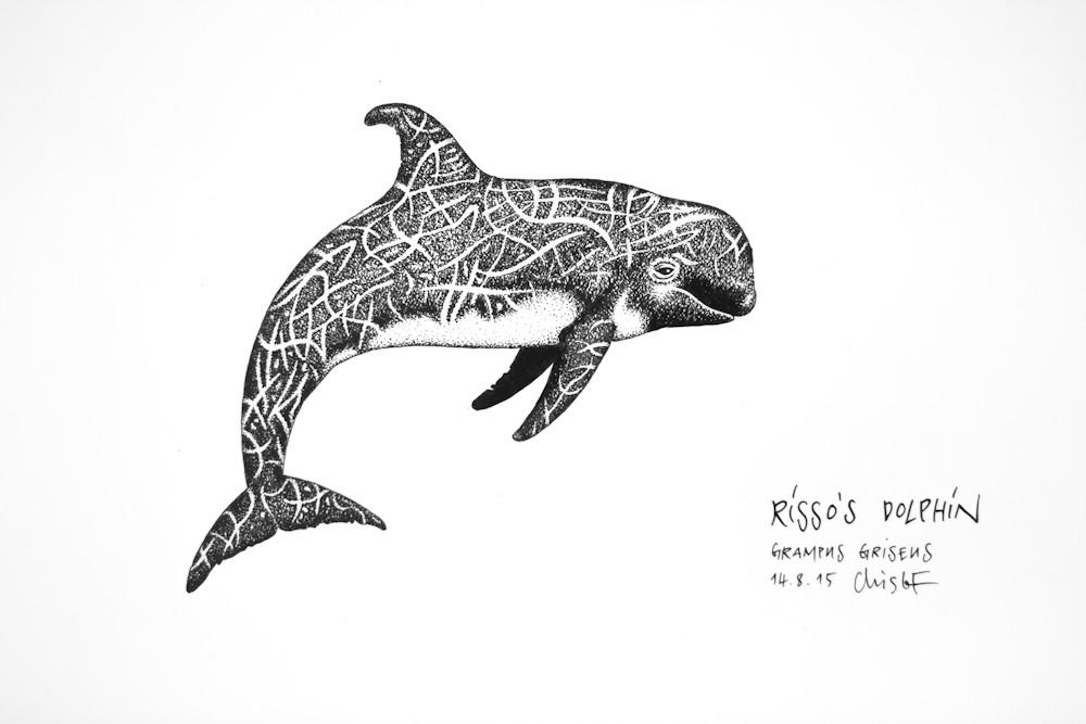 Rissos-Dolphin_Chris-Studer-2015 (1 of 1)