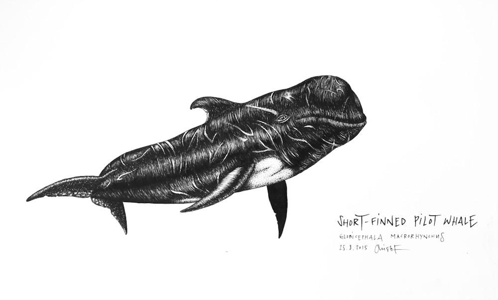 Short-finned-Pilot-Whale_Chris-Studer-2015 (1 of 1)