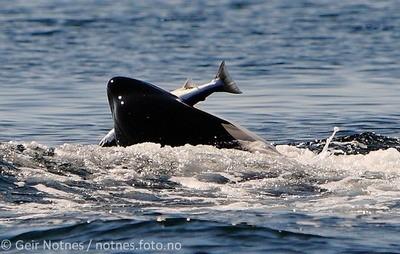 orca-salmon-geir-notnes-2011-2-small