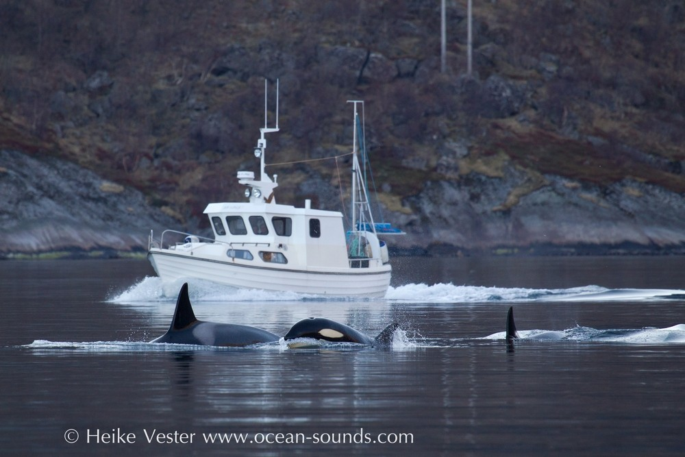 orcas-may-2014-hvester-s