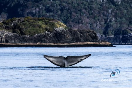 Ocean Sounds Whale and Dolphin Conservation Sounds Library Chile Patagonia Blue Whale
