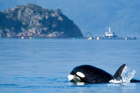 Ocean Sounds Whale and Dolphin Conservation Sounds Library Norway Killer Whale