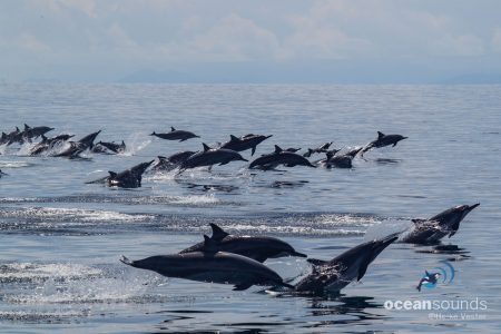 Ocean Sounds Whale and Dolphin Conservation Sounds Library Raja Ampat Spinner Dolphins