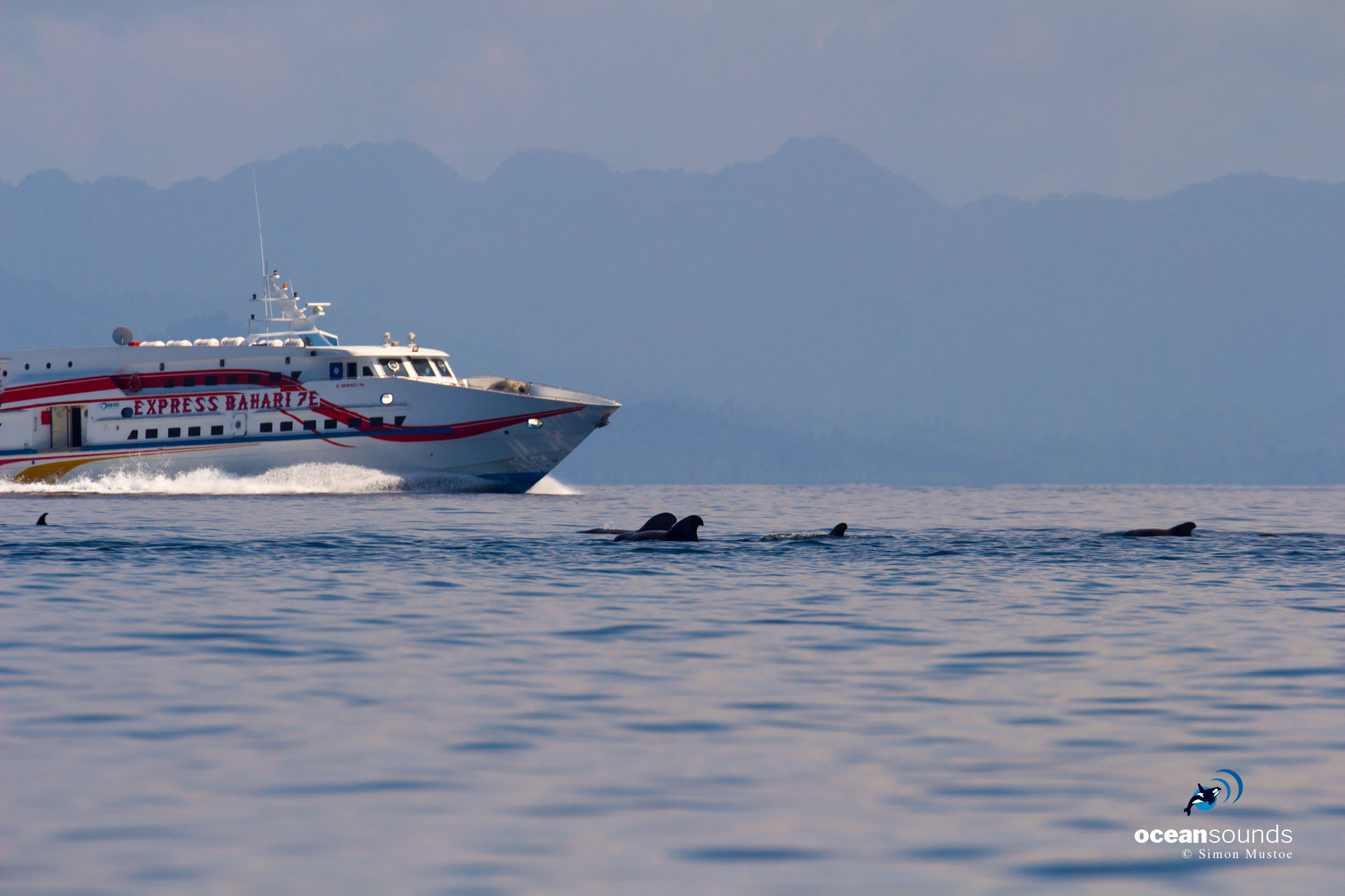 A fast ferry passes extremely close to a pod of Short-finned Pilot Whales.