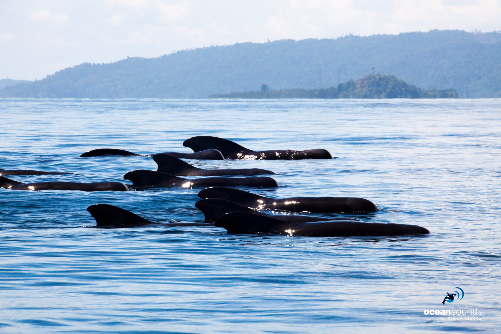 Short-finned Pilot Whales resting with the island of Wayag in the background.